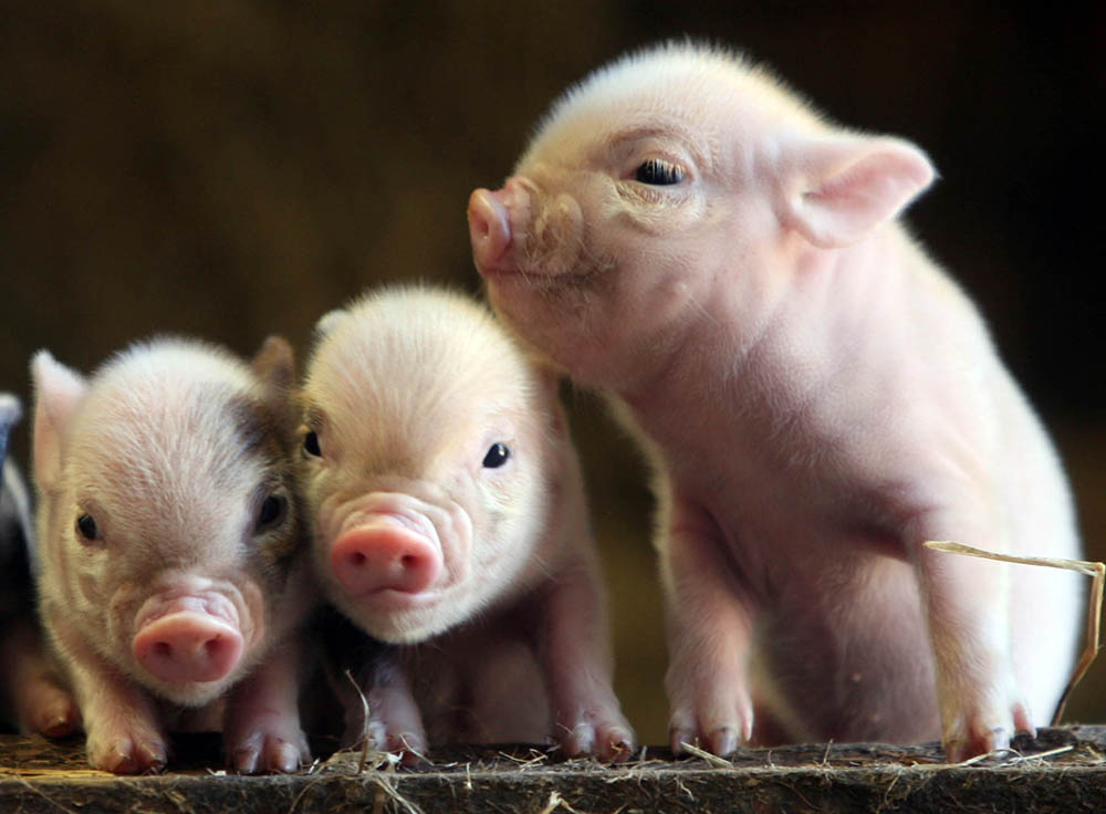 Piglets at Pennywell