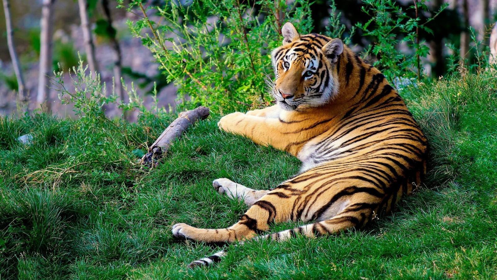 Bengal tiger Paignton Zoo