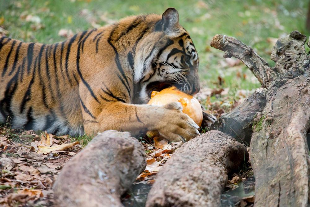 Paignton Zoo Tigers