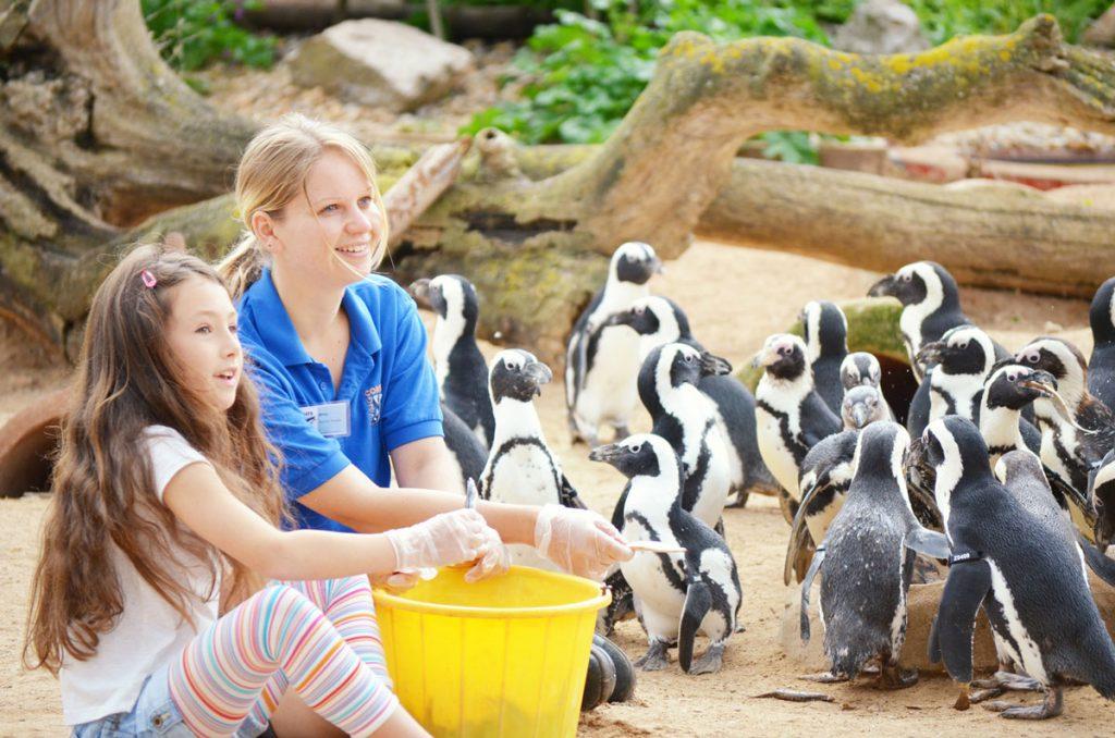 Penguin feeding at Living Coasts