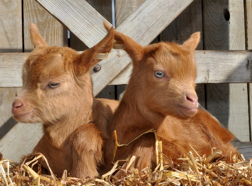 Baby goats at Pennywell Farm