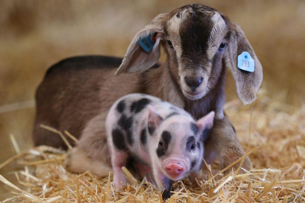 pennwell-farm-animals