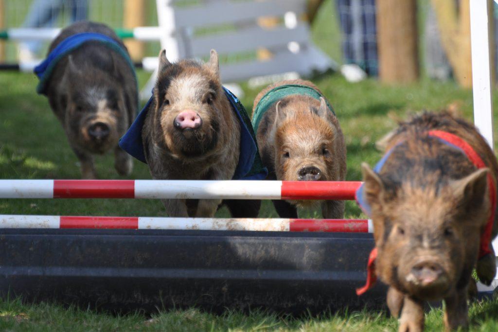 pennywell-farm-pig-racing