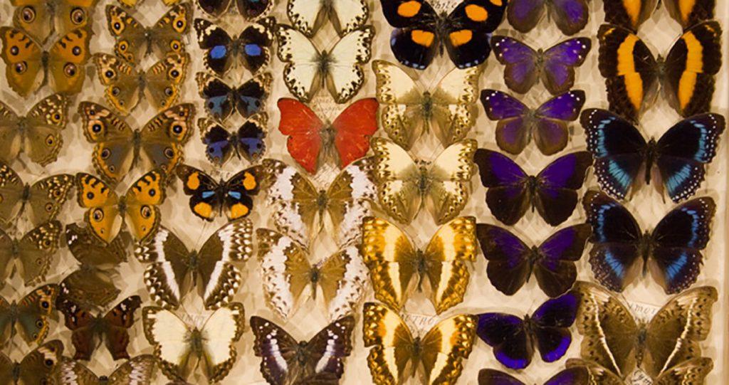 Torquay Museum Butterflies