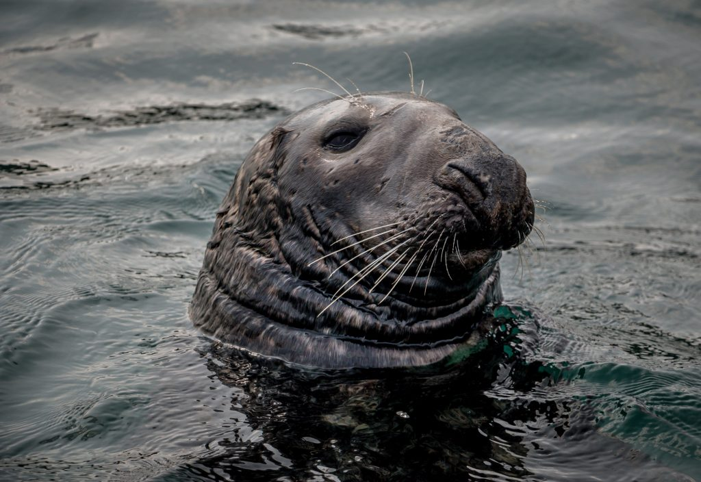 Babbacombe Bay seal